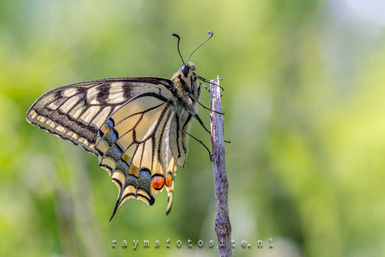 Koninginnenpage papilio machaon